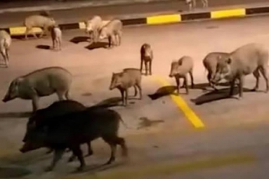 Large group of Wild boars spotted at Bus terminal